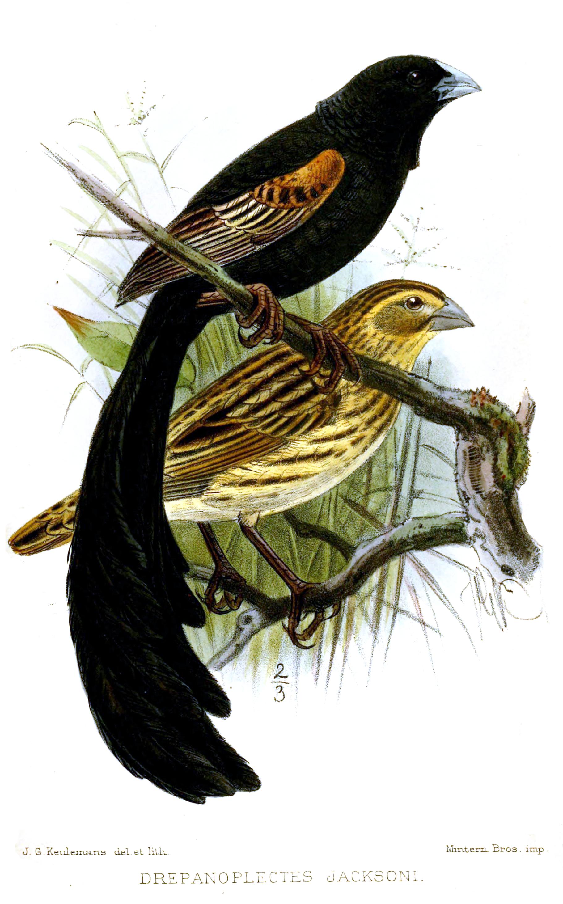 Jackson's Widowbird wallpaper