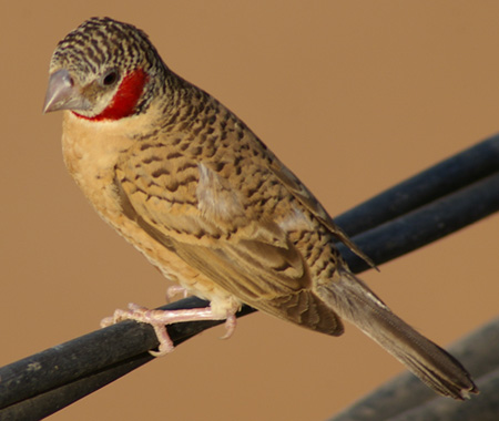 Cut-throat Finch wallpaper