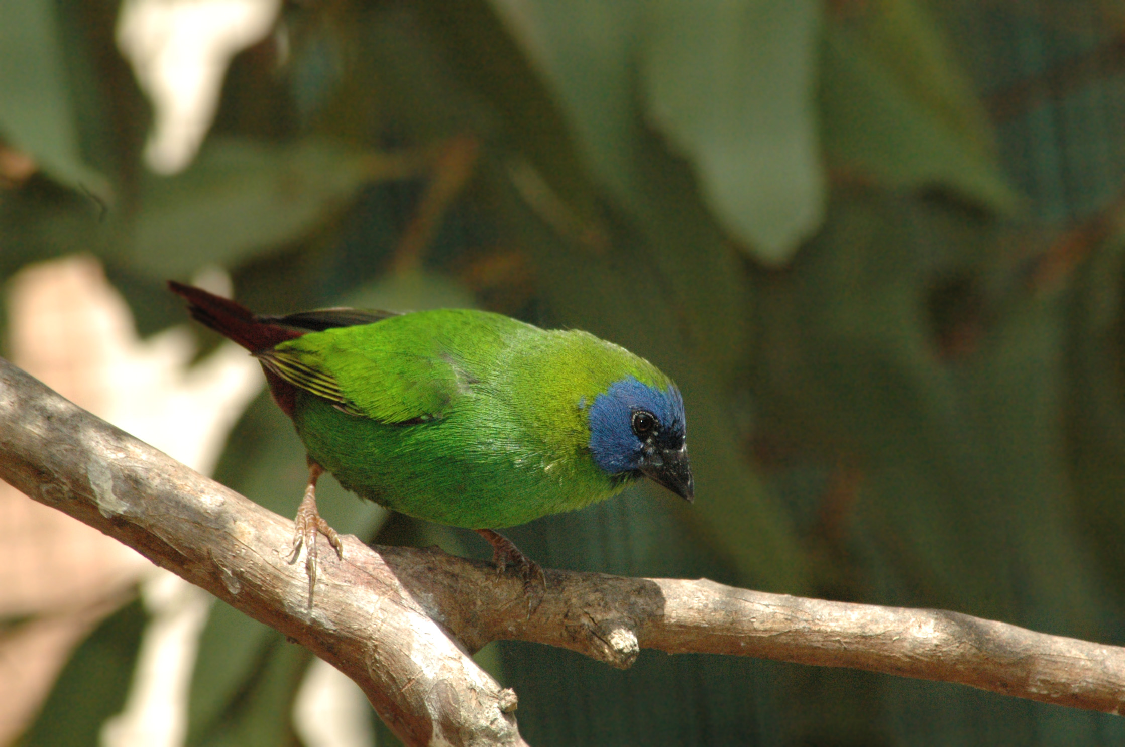 Blue-faced Parrotfinch wallpaper