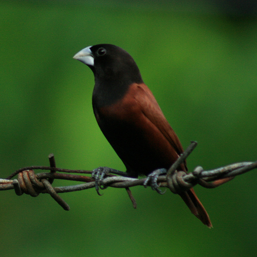 Chestnut Munia wallpaper