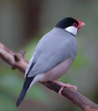 Java Sparrow wallpaper