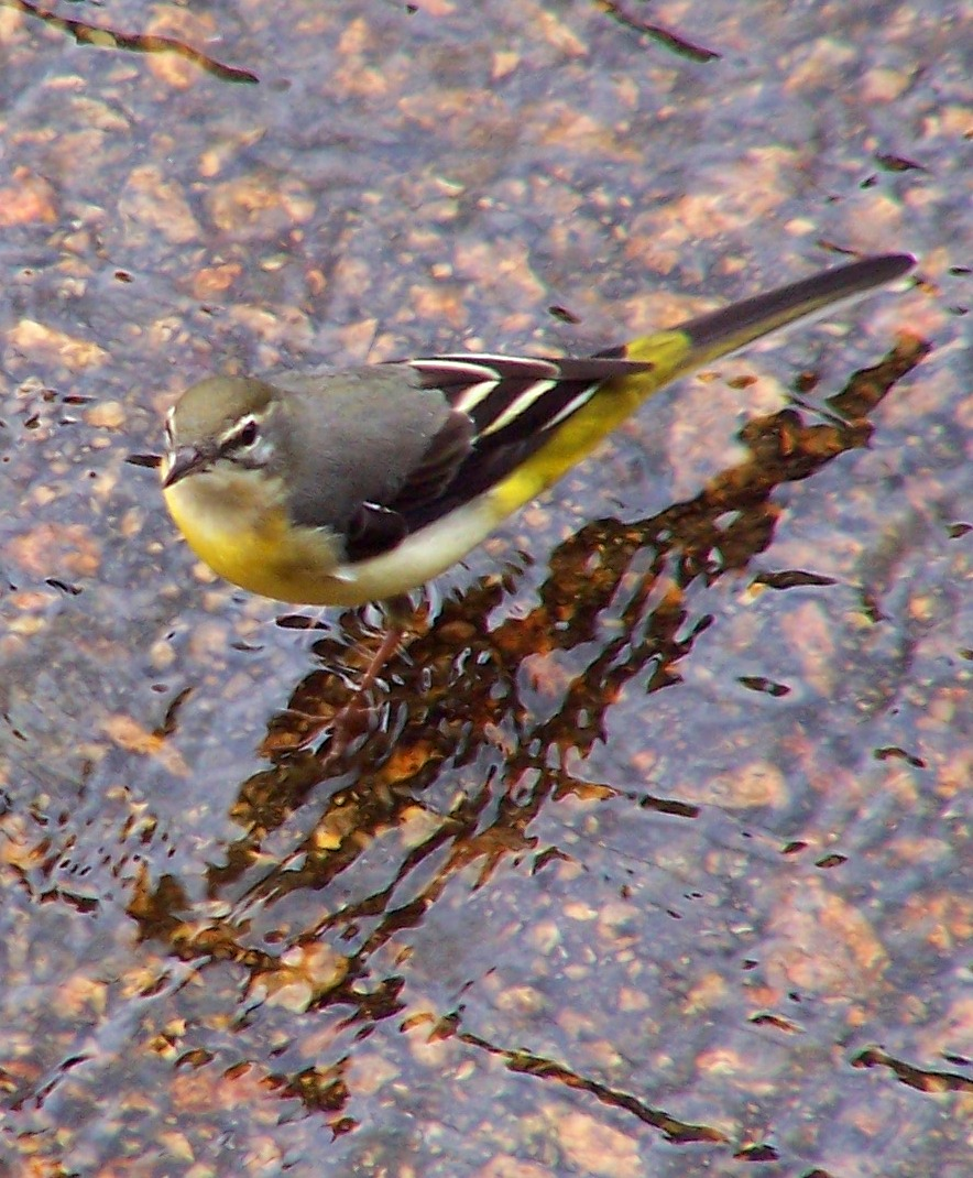 Grey Wagtail wallpaper