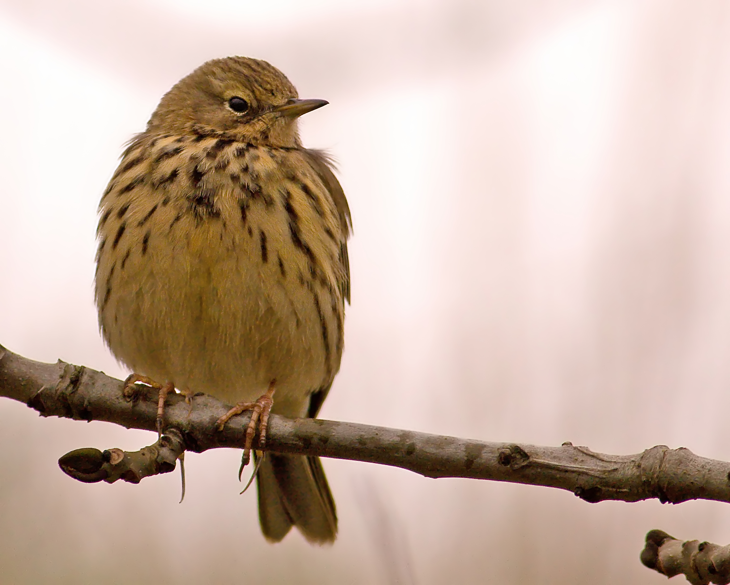 Meadow Pipit wallpaper