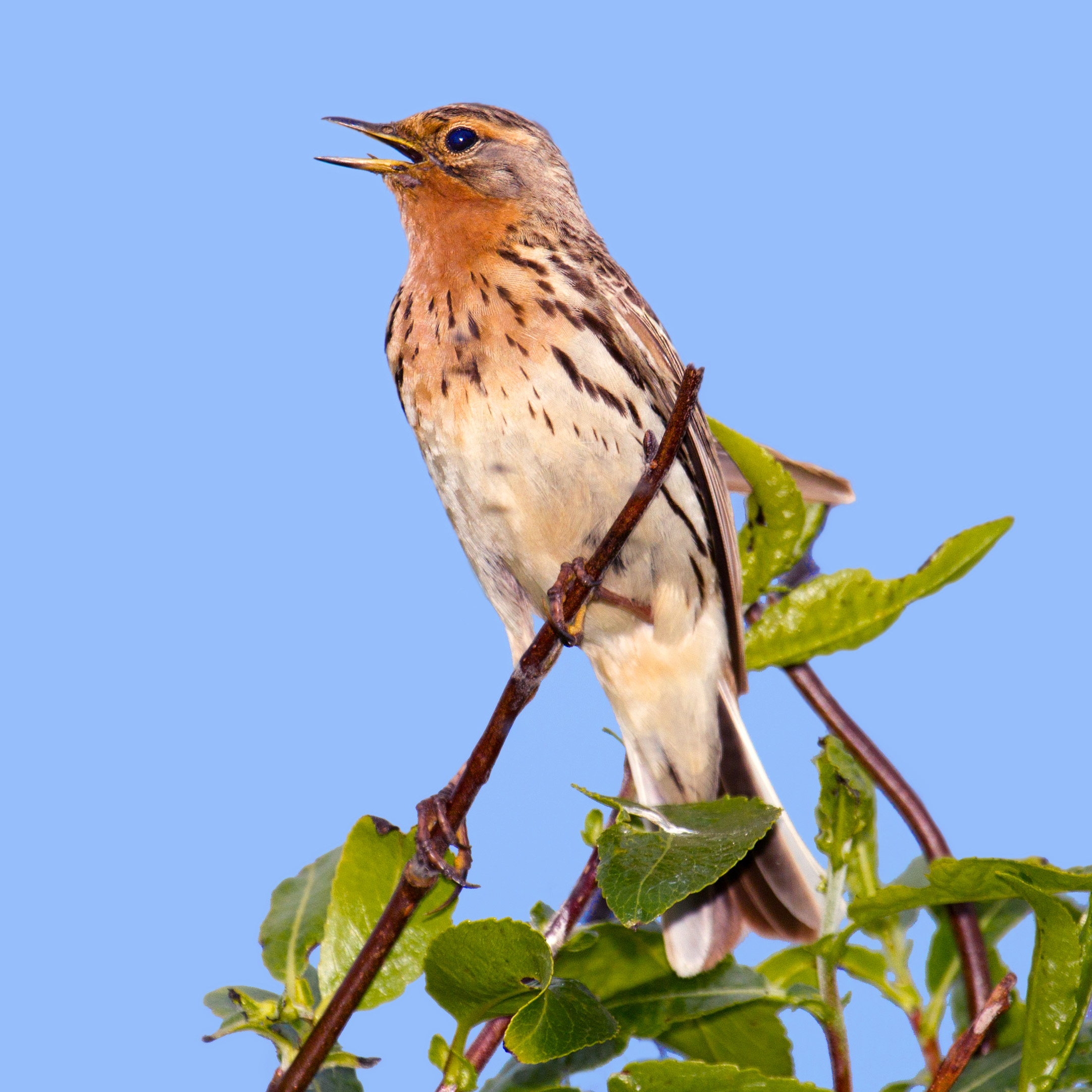 Red-throated Pipit wallpaper