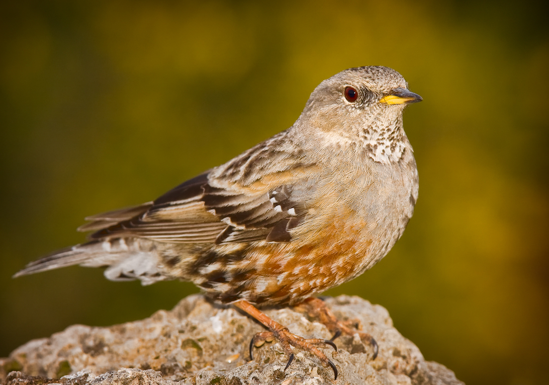 Alpine Accentor wallpaper