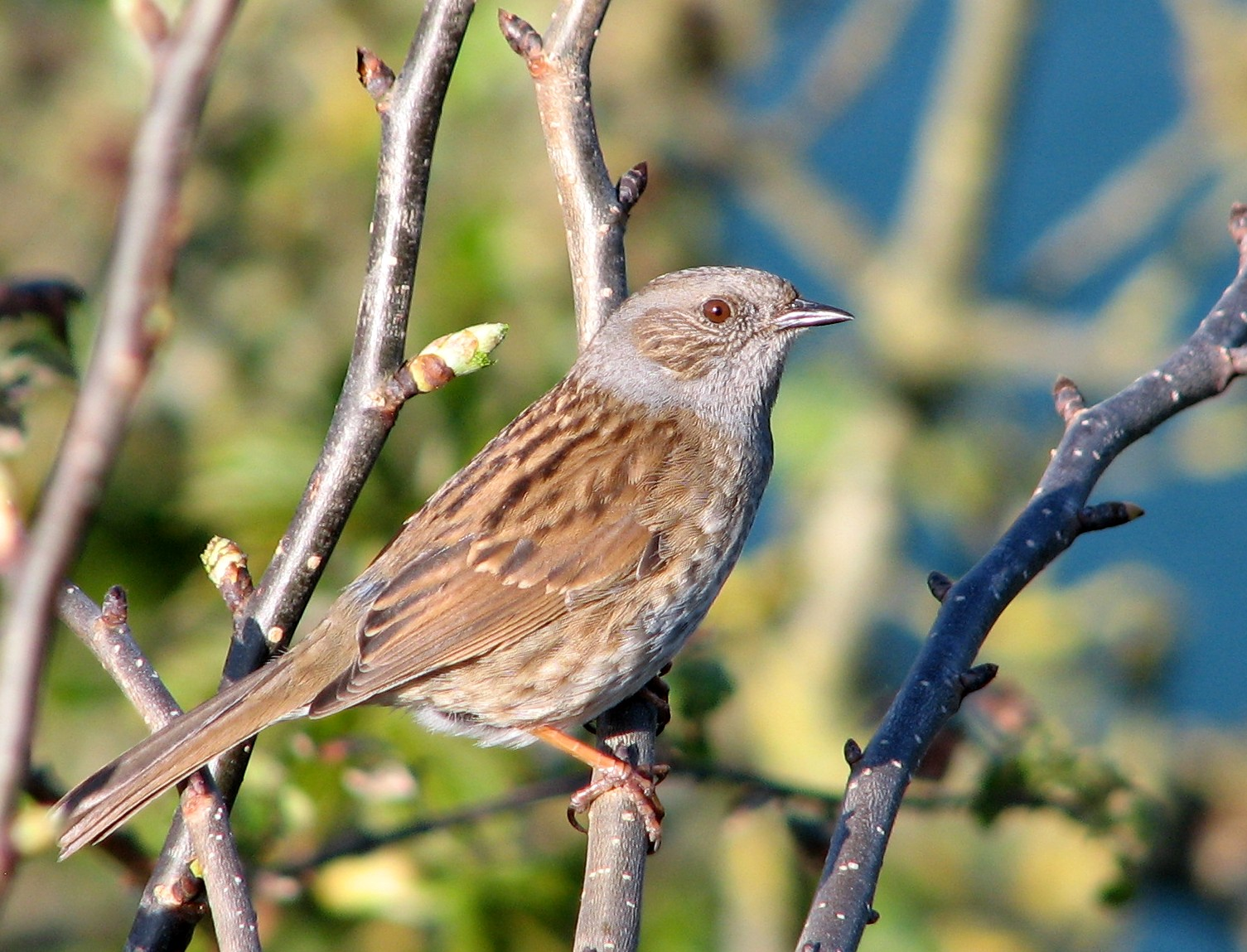Dunnock wallpaper