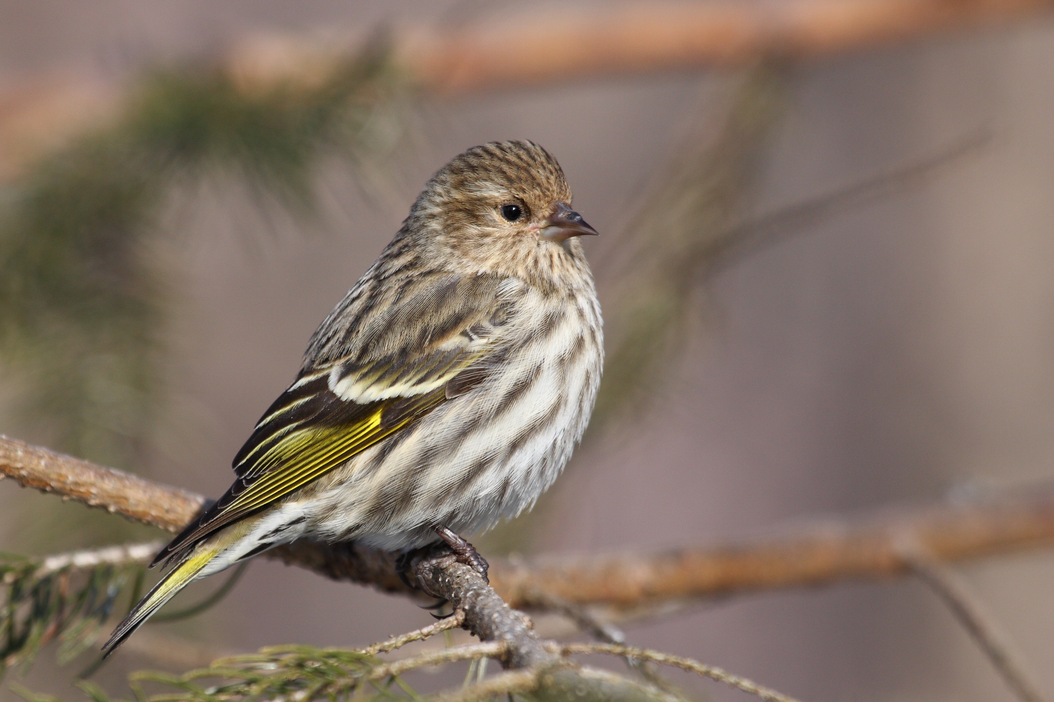 Pine Siskin wallpaper