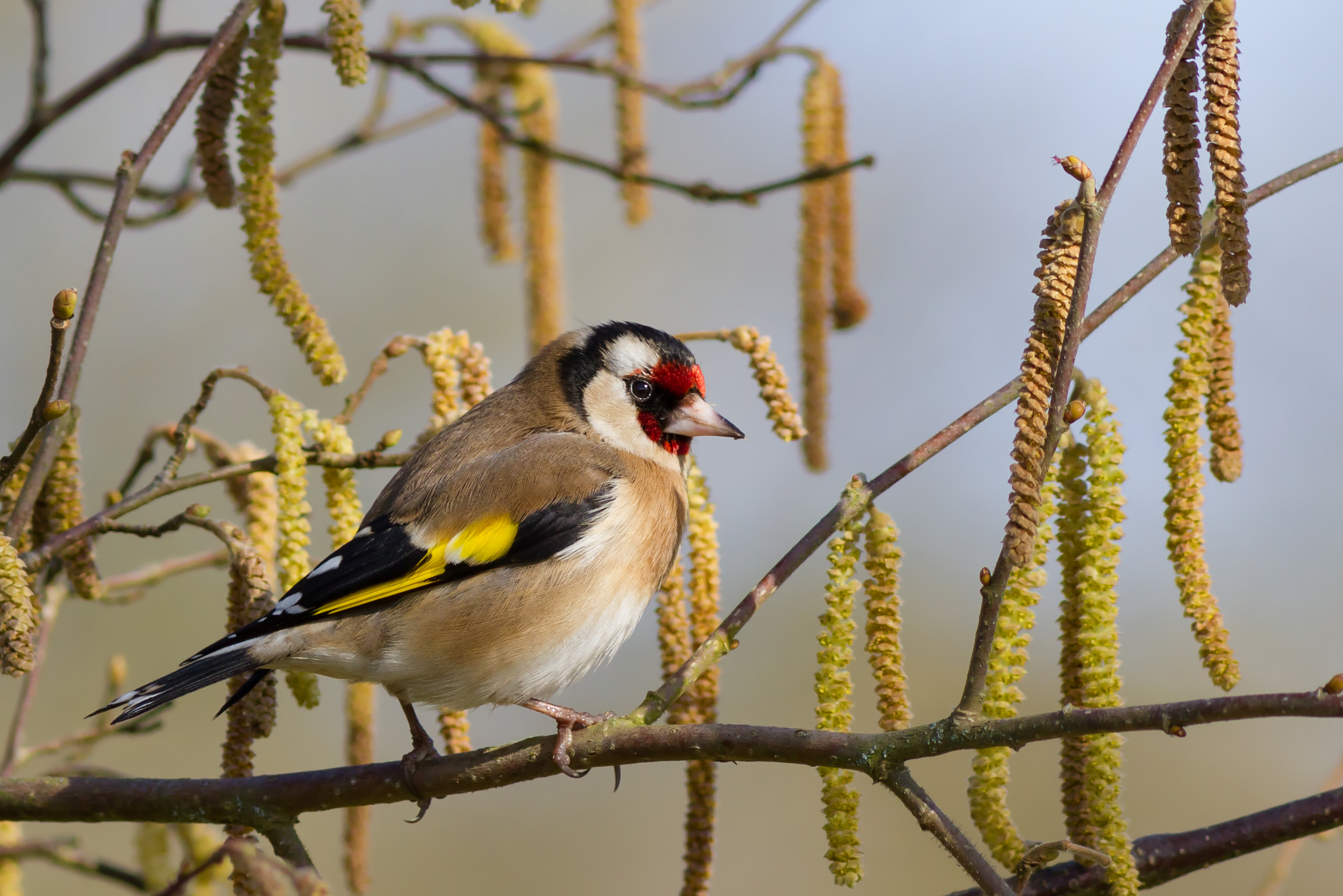 European Goldfinch wallpaper