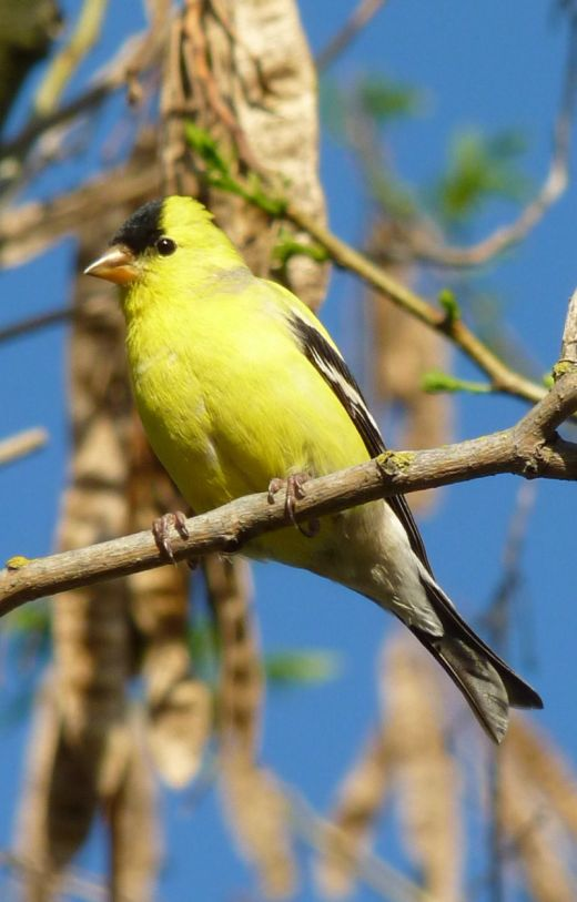 American Goldfinch wallpaper