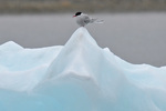 Arctic Tern on ice