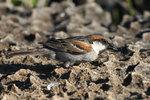Abd al-Kuri Sparrow