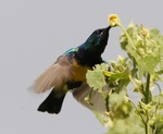 Abyssinian Oriole and a flower