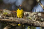 Abyssinian Oriole on branch
