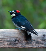 Acorn Woodpecker on a tree