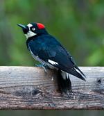 Acorn Woodpecker on a tree