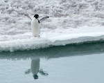 Adelie Penguin on show