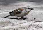 Afghan Snowfinch