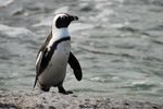 African Penguin on sand
