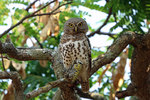 African Barred Owlet in jungle