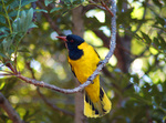 African Black-headed Oriole on a tree