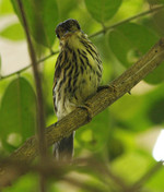 African Broadbill on tree