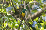 African Emerald Cuckoo in jungle