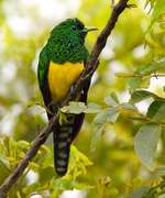 African Emerald Cuckoo on a branch