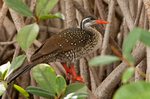 African Finfoot on a branch