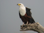 African Fish Eagle on top