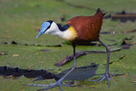 African Jacana on water