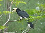 African Pied Hornbill on a branch