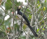 African Pied Hornbill on a tree