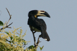 African Pied Hornbill on top