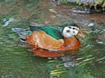 African Pygmy Goose swims