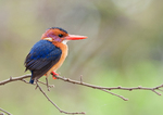 African Pygmy Kingfisher on the branch