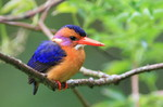 African Pygmy Kingfisher on the tree