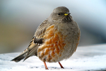 Alpine Accentor on the mountain