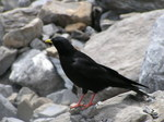 Alpine Chough on the rocks
