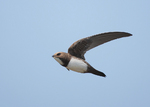 Alpine Swift in the sky