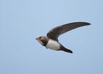 Alpine Swift in the sky