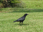 American Crow on earth