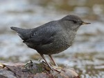 American Dipper in the rocks