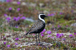 American Golden Plover on flowers