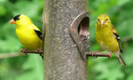 American Goldfinch birds