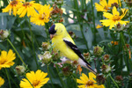 American Goldfinch in flowers