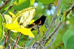 American Redstart and flowers