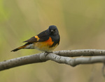 American Redstart on a branch