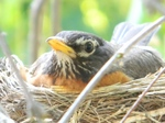 American Robin in the nest
