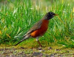 American Robin side view
