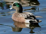 American Wigeon swims